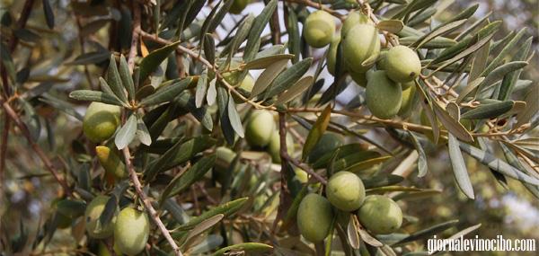 cultivar olivo siciliano