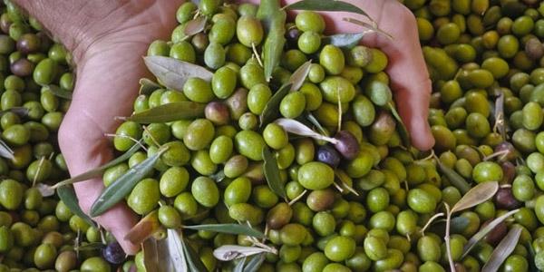 olive-giornalevinocibo